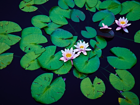 Lily Pads by Peter Adams.