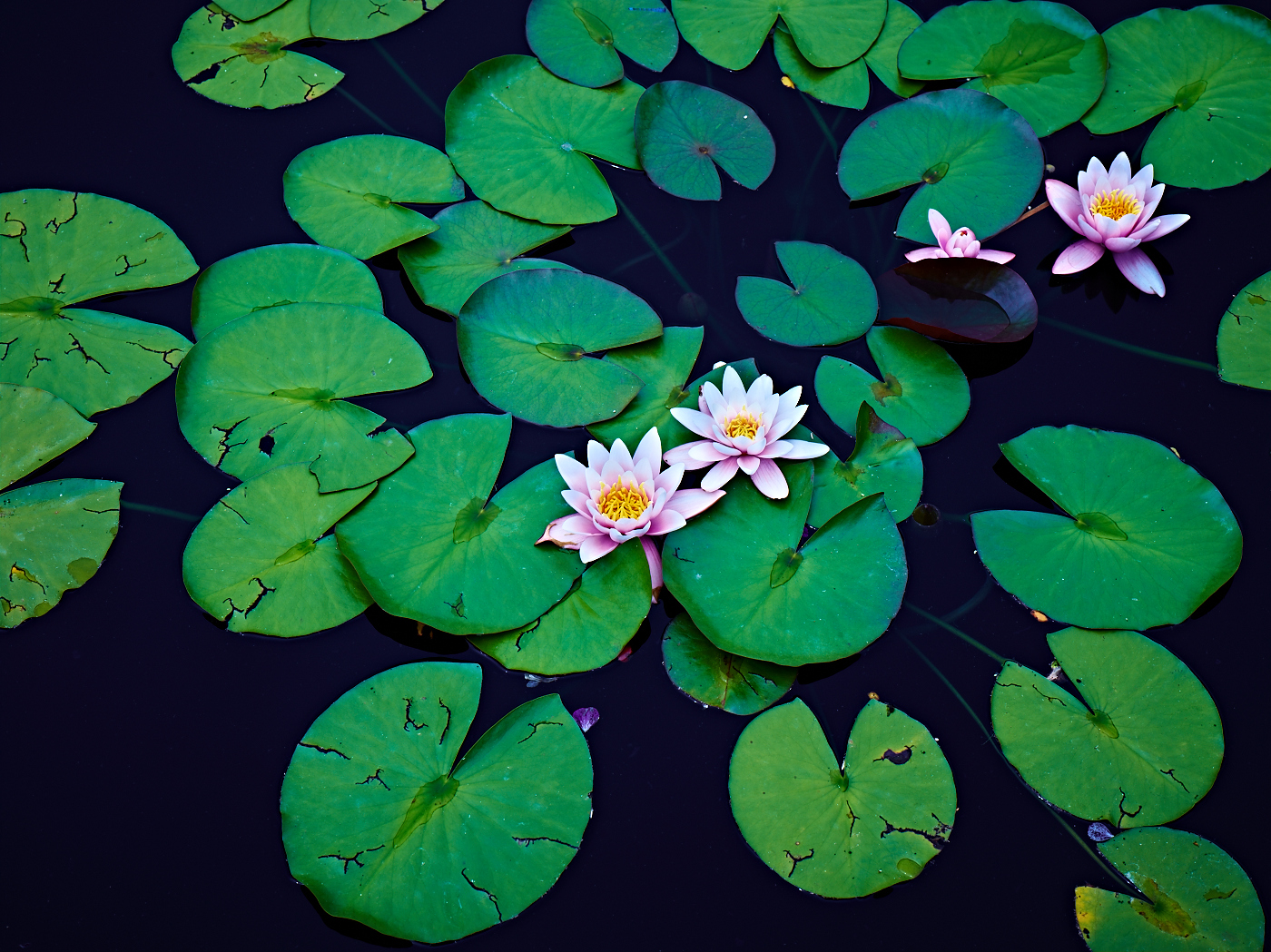 Lily pads peter adams photography lily pads izmirmasajfo Images