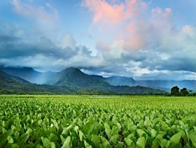Taro Fields by Copyright Peter Adams. All Rights reserved..