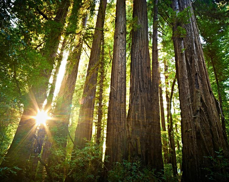 Redwood Trees by Peter Adams.