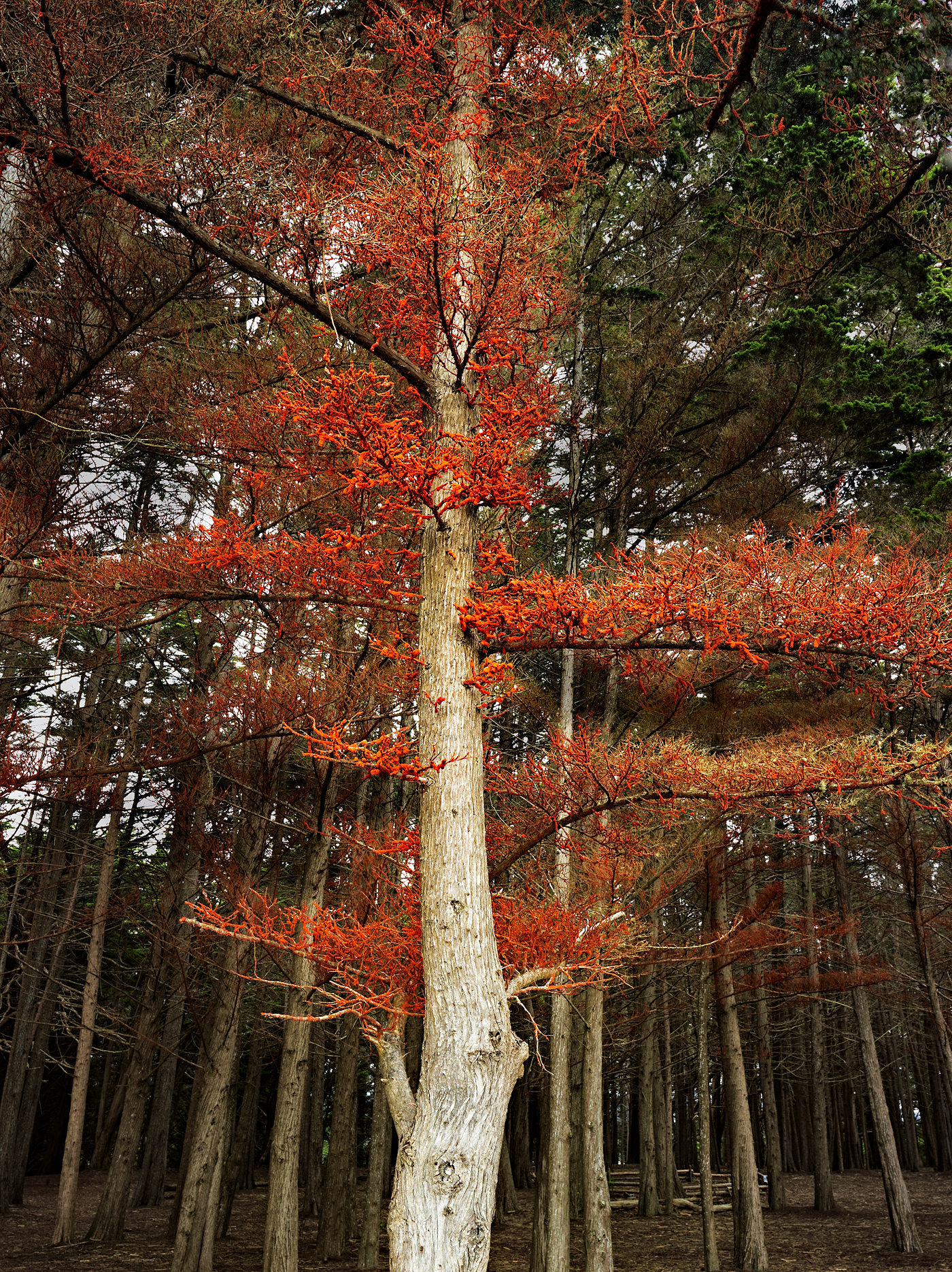 Red Tree by Peter Adams.