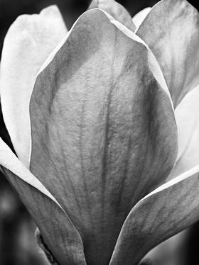Magnolia Bloom by Peter Adams.