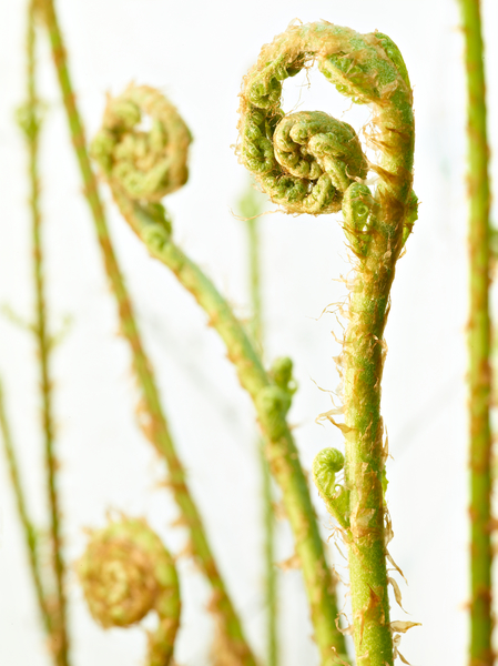 Unfurling Ferns by Peter Adams.