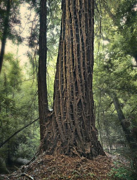 Spider Web Redwood Tree by Peter Adams.