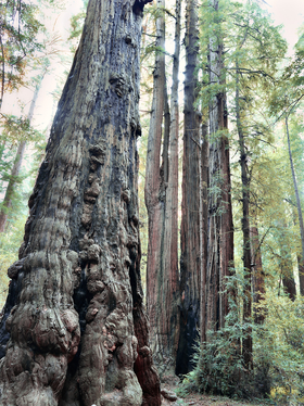 Redwood Cluster by Peter Adams.