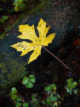 Yellow Maple Leaf by Peter Adams Photography.