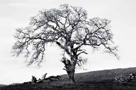Oak by Peter Adams.