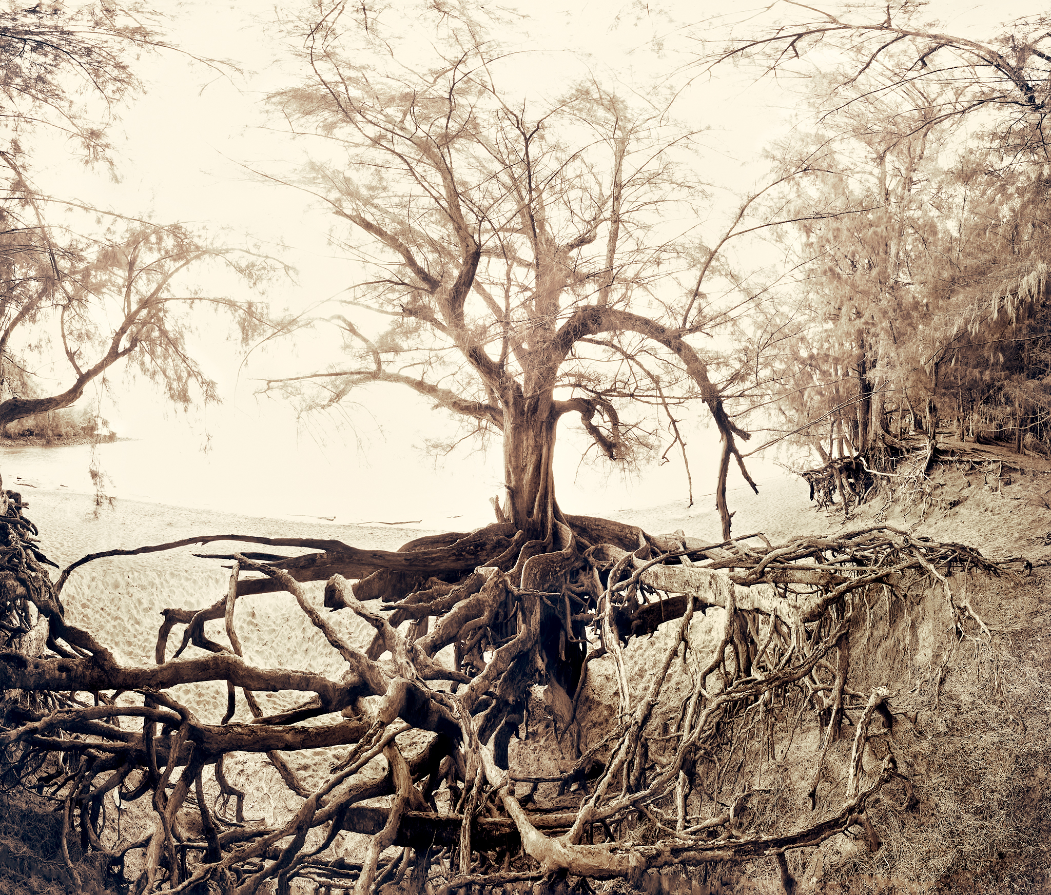 Banyan Tree and Roots by Peter Adams.