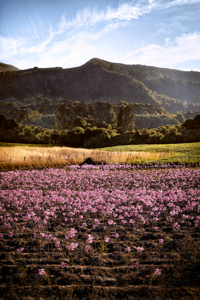 Pink Trumpets by Peter Adams.