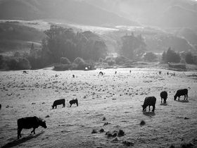 Cow Pasture by Peter Adams.