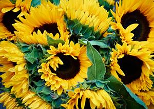Sunflowers by Peter Adams.