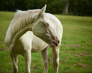 Albino Horse by Peter Adams.
