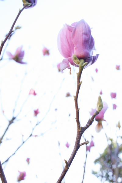 Magnolia Blossoms by Peter Adams.