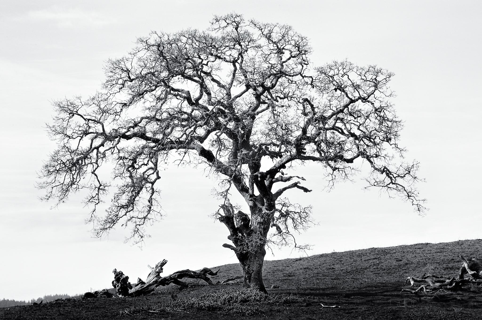 Oak by Peter Adams.
