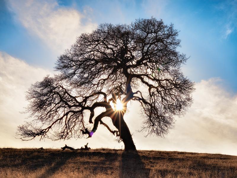 Oak Tree by Peter Adams.