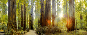 Redwood Forest by Peter Adams.
