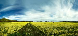 Yellow Field by Peter Adams.