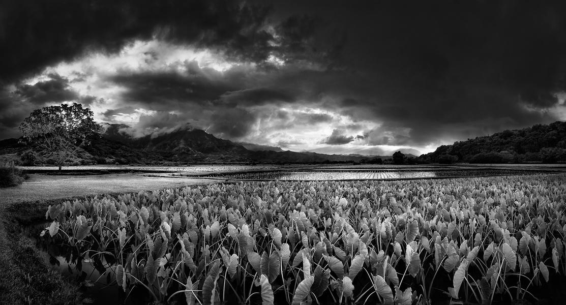 Hanalei Taro Fields by Peter Adams.