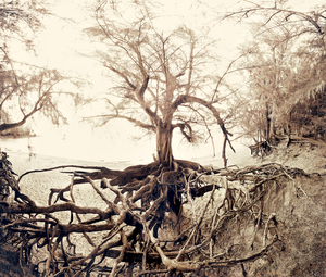 Ironwood tree and roots by Peter Adams.