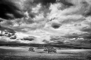 Oak Trees by Peter Adams.