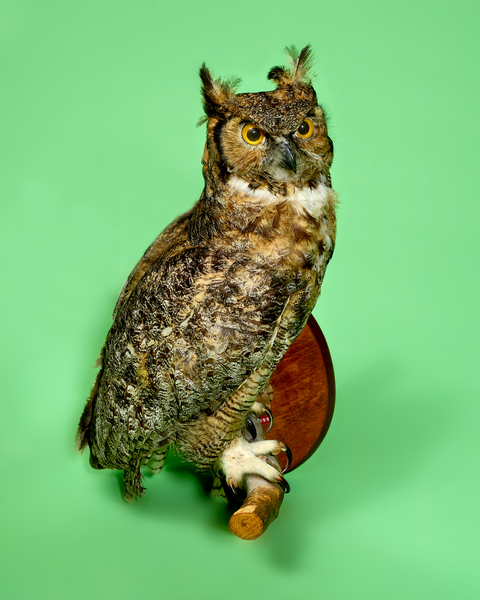 Stuffed Owl by Peter Adams.